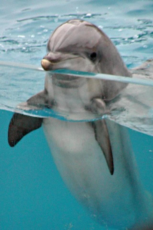 """Cохраните картинку Дельфин на ваш компьютер. .  Кликните по ней правой кнопкой мышки и выберите опцию  """"Сохранить..."""