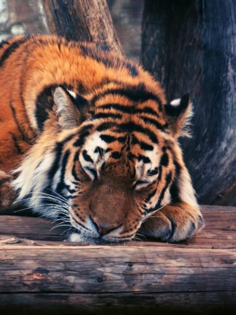 фото тигра на заставку телефона № 15050 загрузить